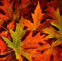 Multicolored fall foliage.